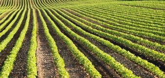 Soybean fields ripening at spring season Stock Image