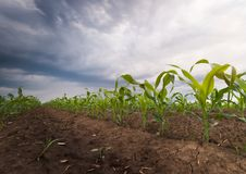 Soybean fields ripening at spring season stormy day Stock Photos