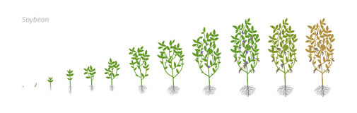Soybean Glycine max. Growth stages vector illustration Royalty Free Stock Image