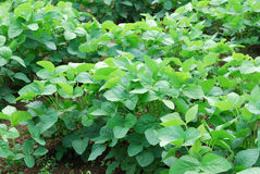 Soybean growth in the fields. Green crops Stock Image