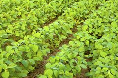 Soybean. Growth in the fields Royalty Free Stock Photography