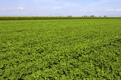 Soybean. Growth in the fields Royalty Free Stock Photos