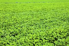 Soybean. Growth in the fields Stock Photos