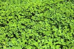Soybean. Growth in the fields Stock Photography