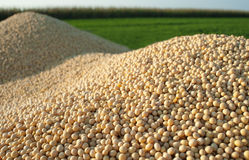 Soybean Harvest Royalty Free Stock Photos