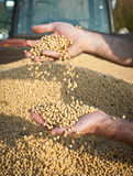 Soybean Harvest. Human hands pouring soy beans after harvest Royalty Free Stock Photo