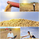 Soybean harvest Stock Images