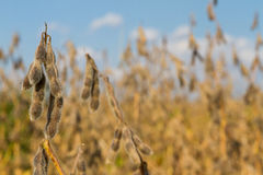 Soybean Harvest Time. Soybean closeup, ready for harvest; shallow focus, blue sky background Stock Images