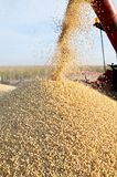 Soybean harvesting. Grain auger of combine pouring soy bean into tractor trailer, blur motion Stock Image