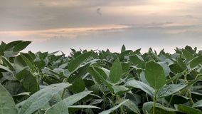 Soybean leaves. Early morning sky with green soybean leaves Stock Image