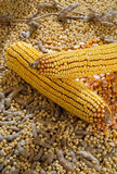 Soybean and mealie Stock Photo