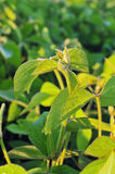 Soybean plant - close up. Close up photo of a soybean plant Stock Images