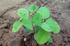 Soybean plant Stock Photos