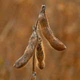 Soybean plant Stock Images
