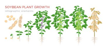 Soybean plant growth stages infographic elements. Growing process of soya beans from seeds, sprout to mature soybeans