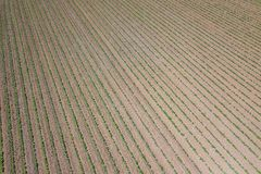 Soybean plantation. Aerial view of cultivated agricultural soy. Bean field. Top view Spring time Royalty Free Stock Photos