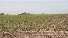 Soybean plantation in the Argentine countryside stock video