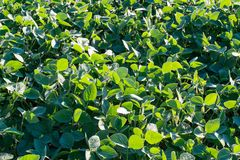 Soybean plantation close-up royalty free stock photos