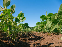 Soybean plantation Royalty Free Stock Photo