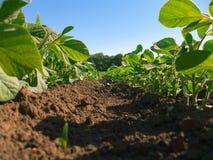 Soybean plantation Stock Photography
