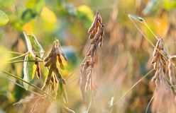 Soybean plant at sunny day Royalty Free Stock Photo