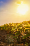 Soybean plantation in sunset. Growing cultivated crops in field Royalty Free Stock Photos