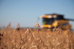 Soybean planting during harvest. Royalty Free Stock Photography