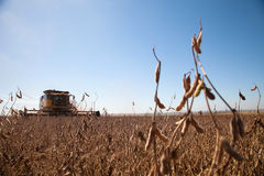 Soybean planting during the harvest. Stock Photo