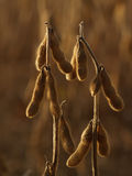Soybean Plants Back-lit in Autumn, Dusk. Closeup of edamame crop drying in field, October; Eastern Pennsylvania-- shallow DOF Royalty Free Stock Image