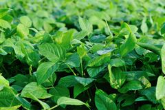 Soybean plants Royalty Free Stock Photos