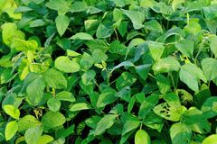 Soybean plants Royalty Free Stock Image