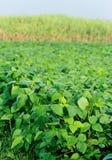 Soybean plants Stock Photo