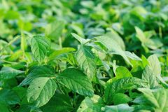 Soybean plants Royalty Free Stock Images