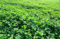 Soybean plants Stock Photography