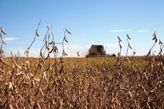 Soybean plants at harvest. Stock Photo