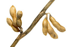 Soybean pods Stock Photo
