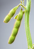 Soybean pods Stock Images