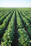 Soybean Rows on Field. Ripening soybean plants out on field Stock Images