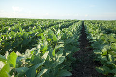 Soybean Rows. Rows of ripening soybean plants Royalty Free Stock Image