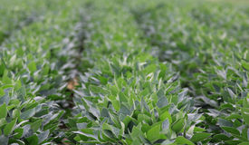 Soybean (Glycine max) rows up close Royalty Free Stock Photo