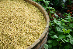 Soybean seed Royalty Free Stock Images