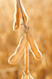 Soybean in the shell Stock Images