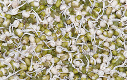 Soybean sprouts. Closeup of sprouting soy beans Stock Photography