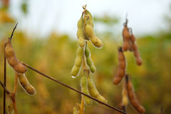 Soybean wet by rain. Mato Grosso State - Brazil Stock Image