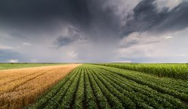 Soybean and wheat fields ripening at spring season stormy day Stock Photo
