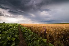 Soybean and wheat fields ripening at spring season stormy day Royalty Free Stock Photography