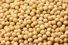 Soybean, Yellow Bean. Close up for background stock images
