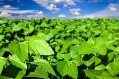 Soybeanen sätter in Royaltyfria Bilder