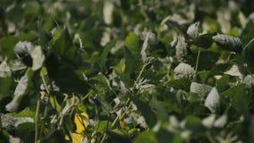 Soybeanfält med ny soja
