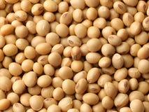 soybeans Arkivfoto
